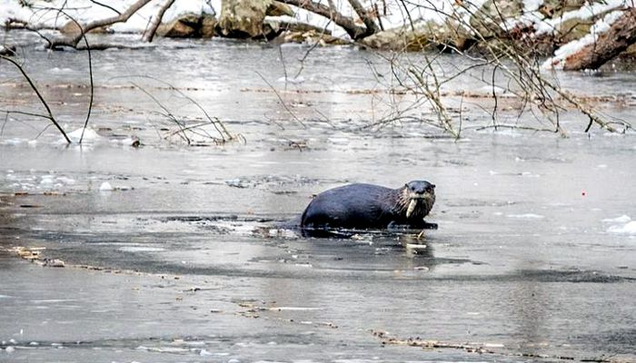 Recently Stream Team photographer Judy Schneider visited Prichards Pond, a third-mile long swelling in Boston Brook created by the late Charles Prichard's century-old dam. She spotted an otter near a hole in the ice eating a fish